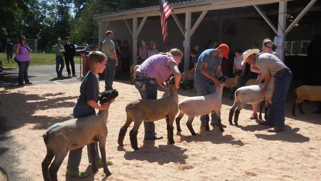 Lambs are judged in various categories during the Marion County Lamb & Wool Show, to be held June 3.