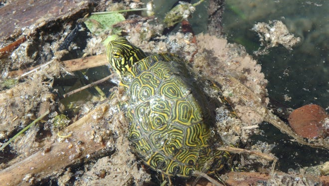 A Rio Grande River Cooter is photographed in the wild.
