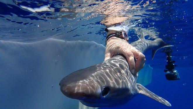 An Atlantic sixgill shark pup.