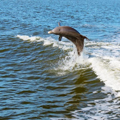 This dolphin named Wyatt is identified by researchers as a baby only a few weeks old because of the fetal folds on its back.