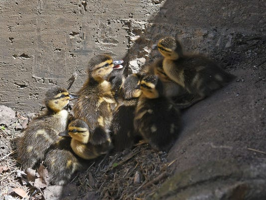 ducklings-lost-2.jpg