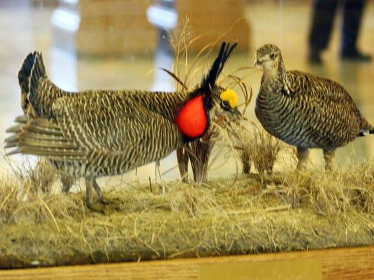 AP Prairie Chickens-Kansas