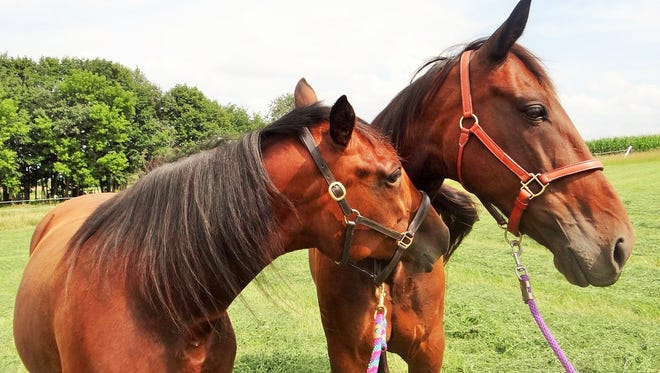 Two Standardbred horses enjoy a quiet moment at Racer Placers, Inc. near Jefferson.