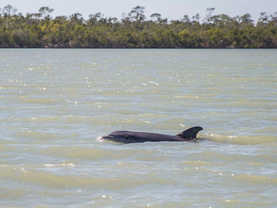 A dolphin swims in the water during the Jet Boat Naples