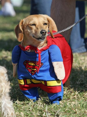 Bambi, a Daschund mix, is dressed as Superman at a Halloween costume parade and contest for dogs, 29 October 2006, in Long Beach, California.