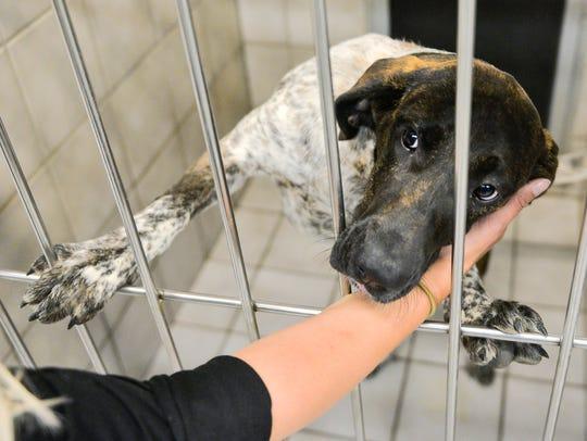 Dahlia, an exuberant lab/blue tick coonhound mix puppy,