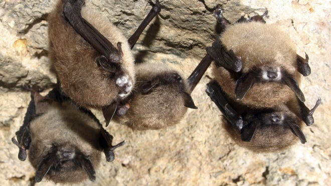 This undated photo from the U.S. Fish and Wildlife Service shows small brown bats displaying white nose syndrome in a cave.