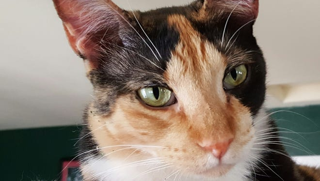 Cinderella, a calico, is one of the cats who will be up for adoption.