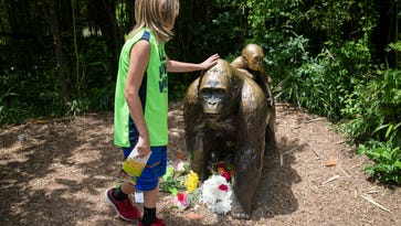 A child touches the head of a gorilla statue where flowers have been placed outside the Gorilla World exhibit at the Cincinnati Zoo & Botanical Garden, Sunday, May 29, 2016, in Cincinnati. On Saturday, a special zoo response team shot and killed Harambe, a 17-year-old gorilla, that grabbed and dragged a 4-year-old boy who fell into the gorilla exhibit moat. Authorities said the boy is expected to recover. He was taken to Cincinnati Children's Hospital Medical Center.