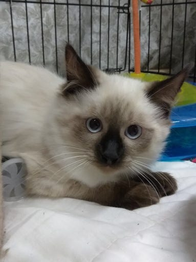Mocha Latte is a 5-month-old Siamese kitten who is friendly with adult humans and OK with other cats. She needs a calm home. Her adoption fee of $60 includes spaying, vaccinations and a health exam. Apply with Another Chance Animal Welfare League Adoption Center at www.acawl.org. Call 547-7387.