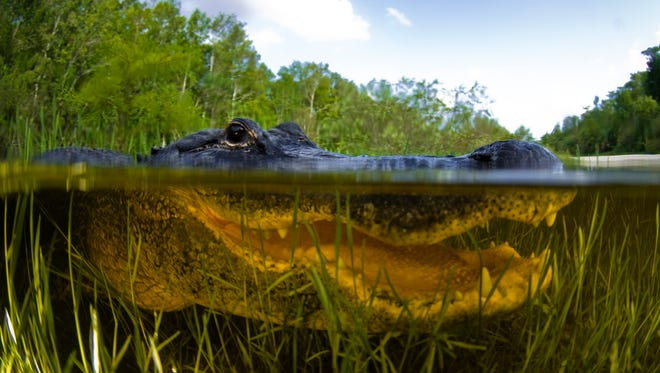 An American alligator, alligator mississipiensis, split over and under water shot in Florida Everglades.