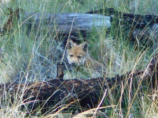 mexican gray wolf Iron-Creek-pup-2015.jpg