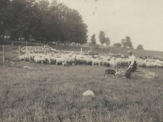 Lyle Whitcomb and his sheep, circa 1900.