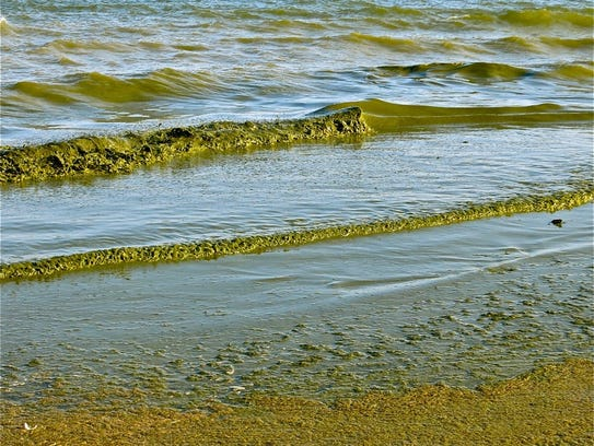 Green algae rolls onto Algoma's Crescent Beach. The