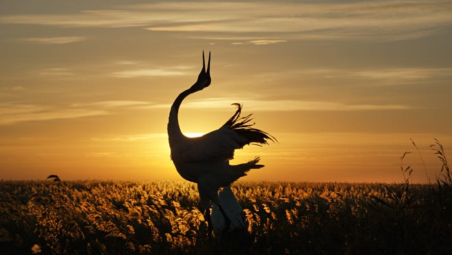 The people of China believe the beautiful red-crowned crane delivers the souls of the departed to a new place, completing the circle of life.