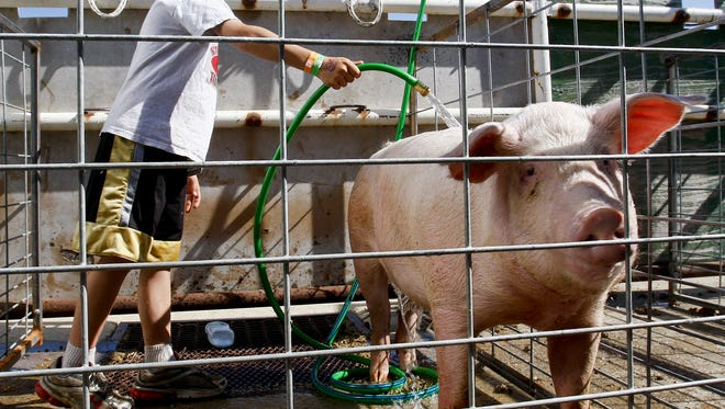 Eight-year-old Brant Seewald of Cut Bank uses a hose to cool off his brother's pig at the Marias 4 County Fair in Shelby.