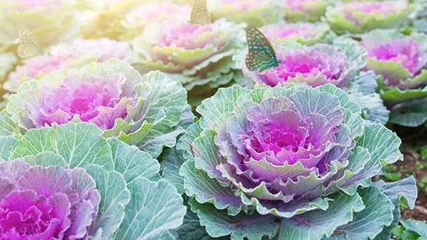 Ornamental cabbage's pinks and purples color the fall and early winter landscape.