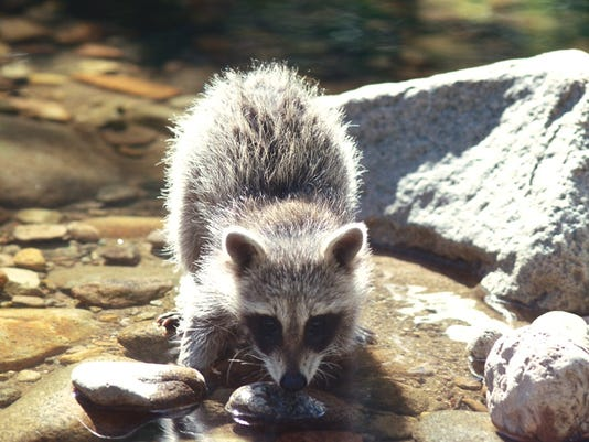 636639967399846746-raccoon.JPG