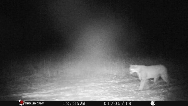 Trail cam photo of a cougar