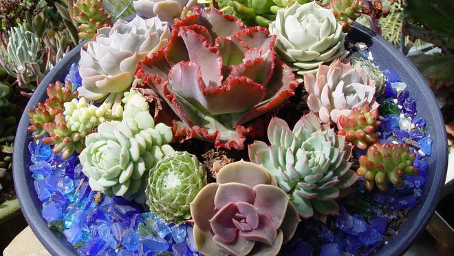 Small tray gardens are now featuring tiny bright succulents packed together and edged with brightly colored tumbled glass.