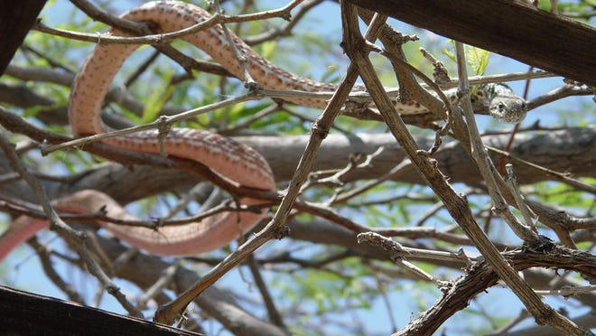 The vivid salmon coloring of the red racer made it stand out brightly in my grape arbor.