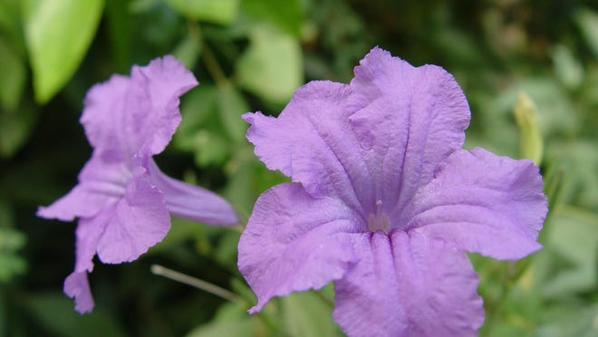 Nearly iridescent violet flowers of ruellia don't give a hint to its talent for spreading in a variety of ways.
