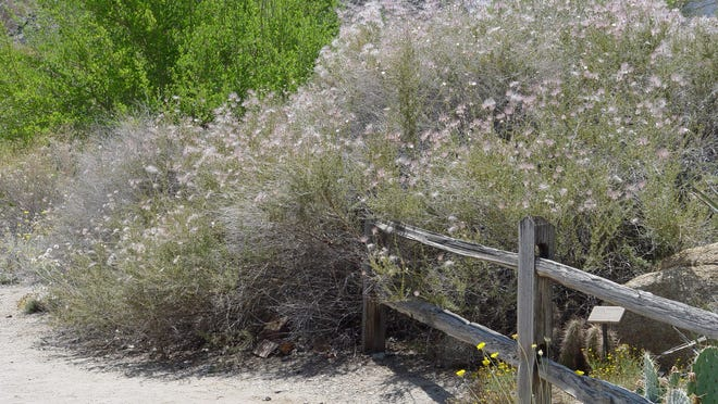 This large mature Apache plume at the Living Desert demonstrates how great it looks in the dry western garden.