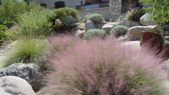 Pink muhly does not produce seedlings in our climate so it's as safe as the green deer grass behind, which is a southwestern native.