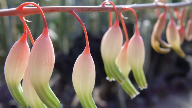 """Gasteria flowers are often called """"flamingo heads"""" because of color and unique shape beloved by hummers."""