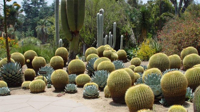Agave parryi used at the Huntington Botanical Garden shows how effectively it accents groups of golden barrels.