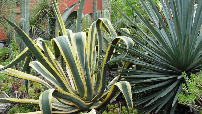 A big fiber agave is impaling its neighbor, a lush varietated Agave americana that will be inevitably scarred by such contact.