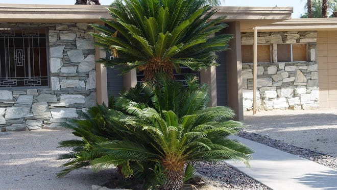 This old Cycas revoluta in south Palm Springs has become a multi headed specimen after many decades in the desert.