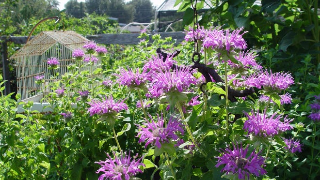 The native perennial Monarda didyma was made into tea by both Native Americans and colonial.