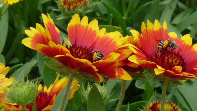 Long-lasting blooms on gaillardia in a hot and dry location.