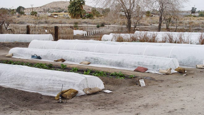Winter at the 29 Palms garden shows the lower grid panel row covers as well as taller hoop types for larger crops used side by side.