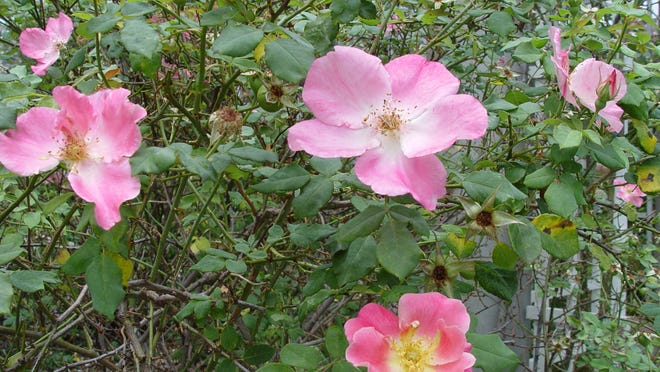 Species roses from around the world typically produce simple flowers upon vigorous shrubby or rambling forms that were the primary stock for modern roses.