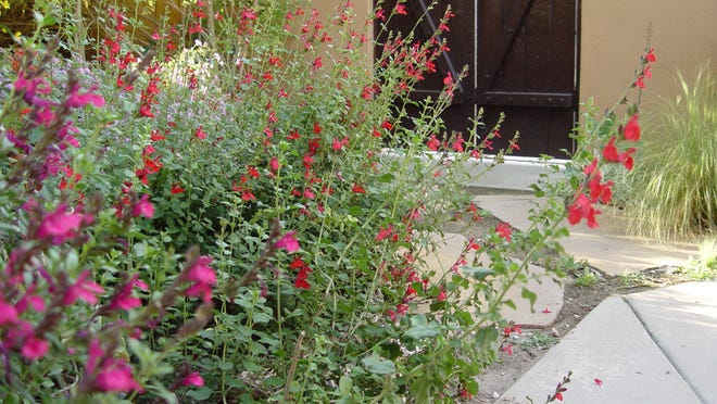The red flowered Autumn sage is the original species most tolerant of hot dry conditions.