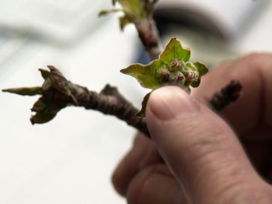 apple branch.jpg