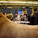 People peer through a plaid curtain to take a peek at receive champion steer Moses (foreground) and grand champion Remi (far right) at the National Western Stock Show Beef Palace on Friday.