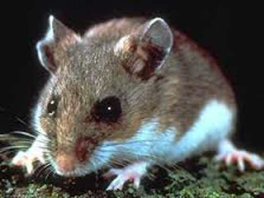 One of the main culprits for spreading the infection is the deer mouse.