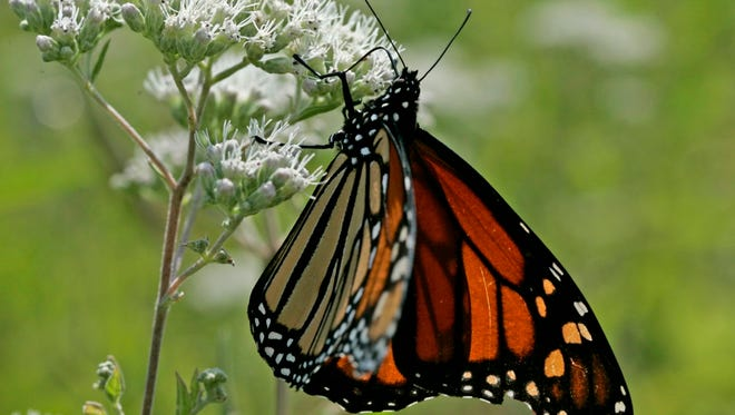A monarch butterfly feeds on a common boneset, a native wildflower common across Wisconsin.