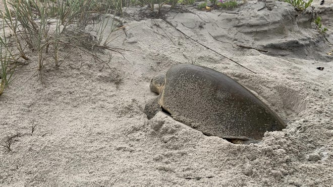 This Kemp's ridley sea turtle is one of 14 total spotted since 1996, according to the county. Two of those were spotted last year, during the largest nesting season on the county's books.