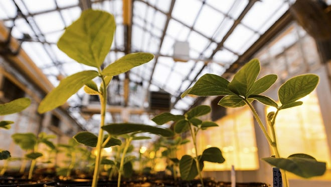 Potted soybean plants grow under greenhouse lights at the Wisconsin Crop Innovation Center in Middleton. Monsanto is donating the facility to the University Research Park, an affiliate of UW-Madison.