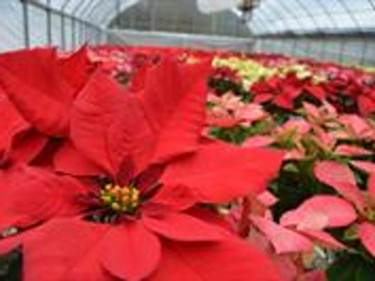Poinsettias Are Ready For Their Close Up