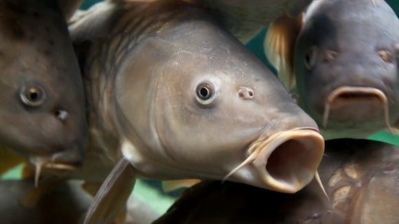 Carp are sometimes called sewer bass.