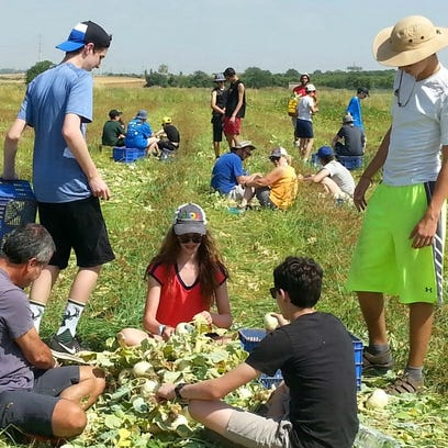 Students from Milwaukee Jewish Day School harvest kohlrabi for Israeli families in need