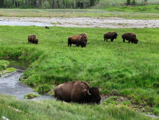 -1 yellowstone bison rem_hert.jpg_20140811.jpg
