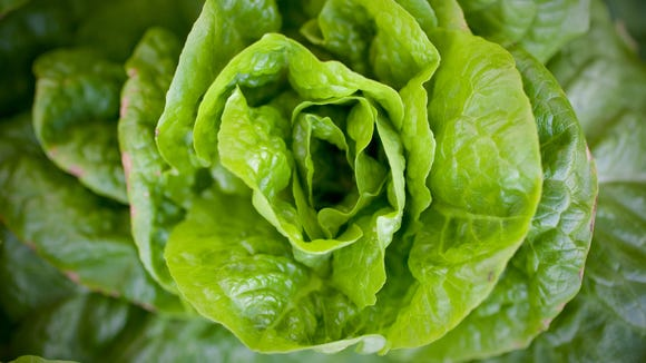 16166 ValentineCook -- Phoenix, AZ -- A head of lettuce in the garden at the home of Kendall and Beate Ong (cq) in Phoenix, AZ on Monday, January 25, 2010. Photo by Michael McNamara / The Arizona Republic