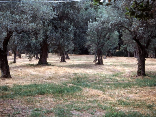 This old fruiting olive orchard is well outside Rome to ensure the pollen doesn't drift into the city.