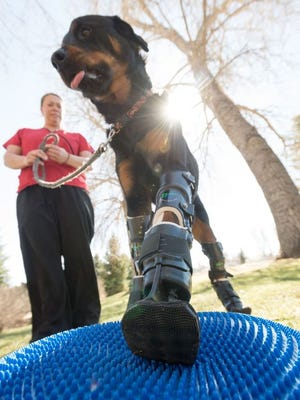 With the help of prosthetic paws, Brutus walks again.